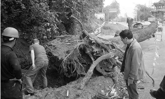 400岁黄连木轰然倒地 专家急喊刀下留树