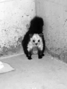 居民家闯入像猫又像鼠小动物 原是国保红白鼯鼠